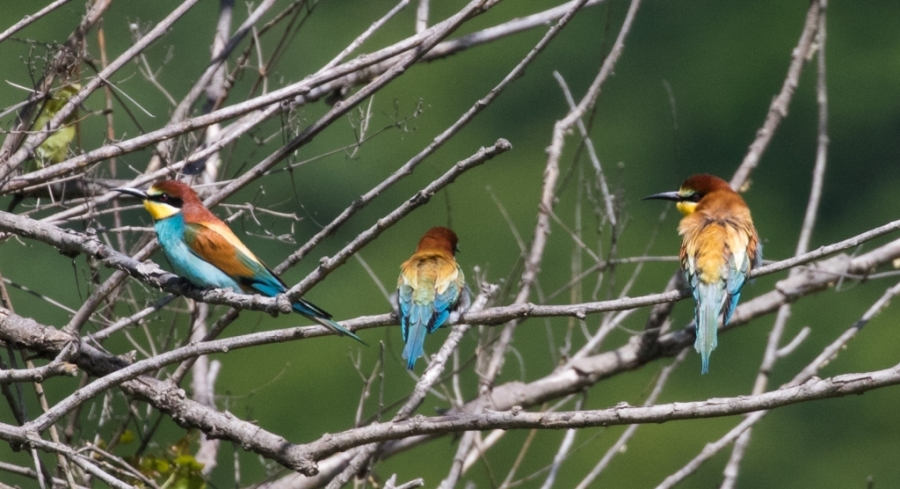01 bee eaters georgia 1024x556