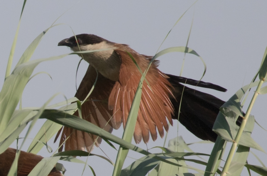 01 senegal coucal 1024x677