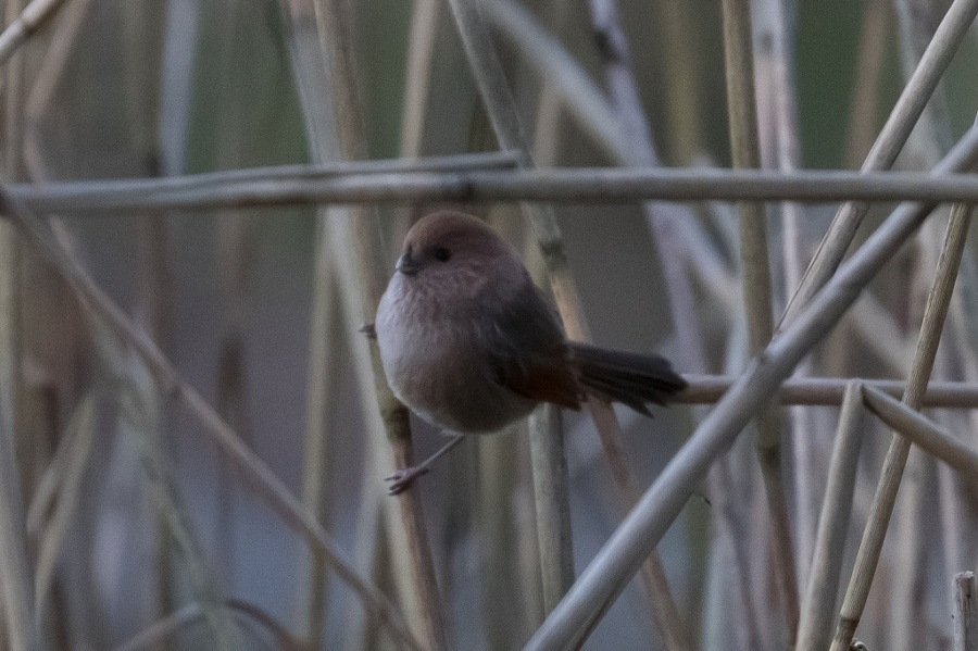 01vionous throated parrotbill 1024x681