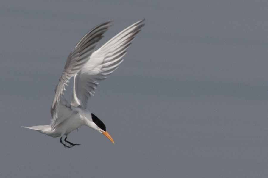 02 lesser crested tern2 1024x682