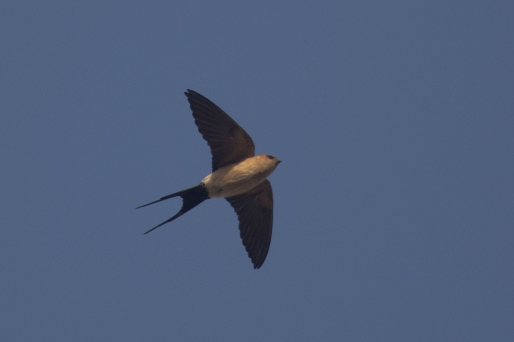 02 red rumped swallow 1024x682
