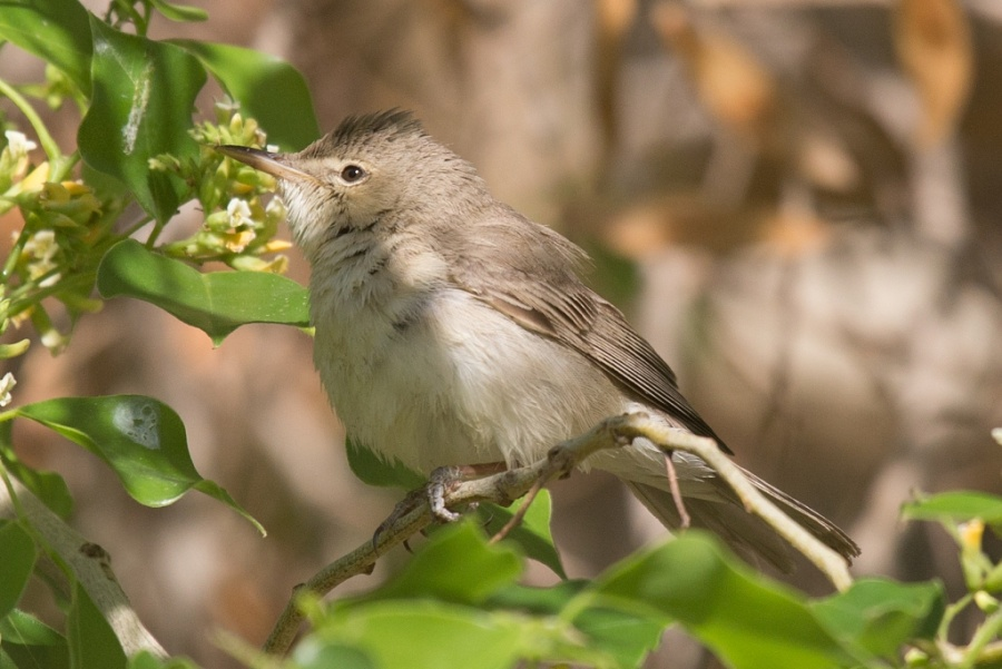 02eastern olivaceous warbler2 1024x684