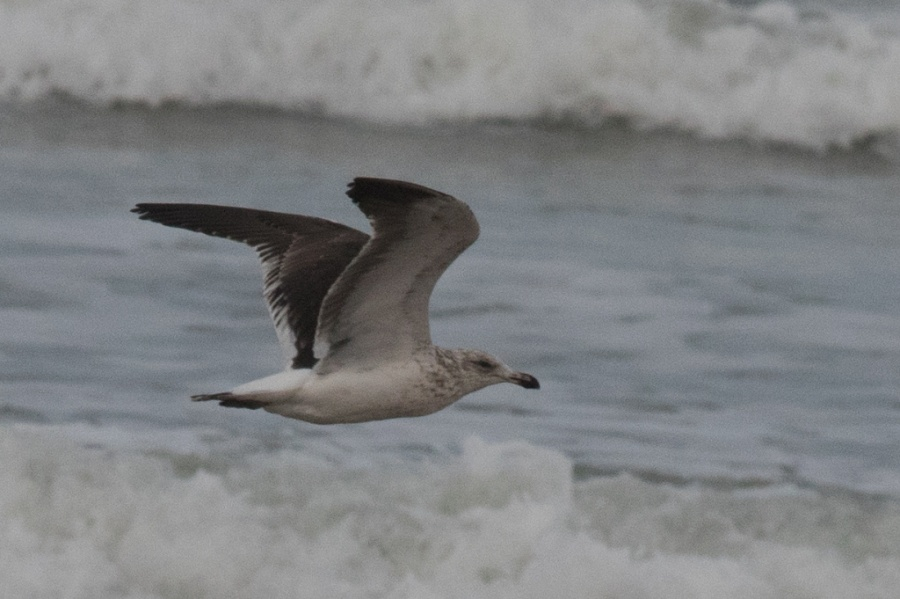 03 kelp gull scnd w flying2 1024x681