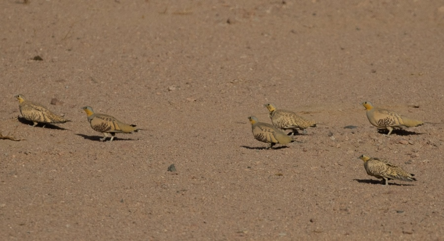 04 spotted sandgrouse 1024x556