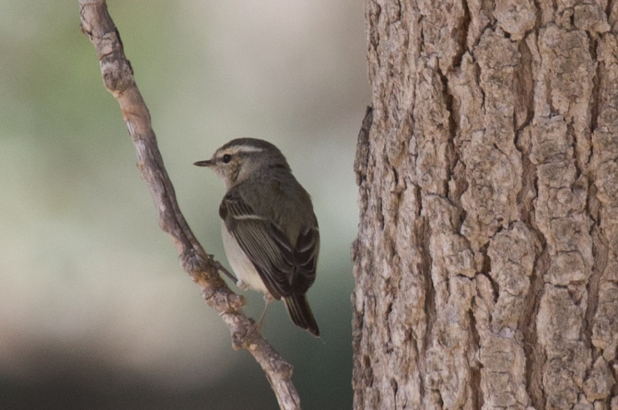 04humes warbler2 1024x679