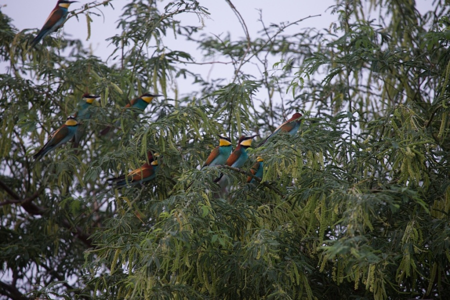 06 eurasian bee eater tree 1024x683