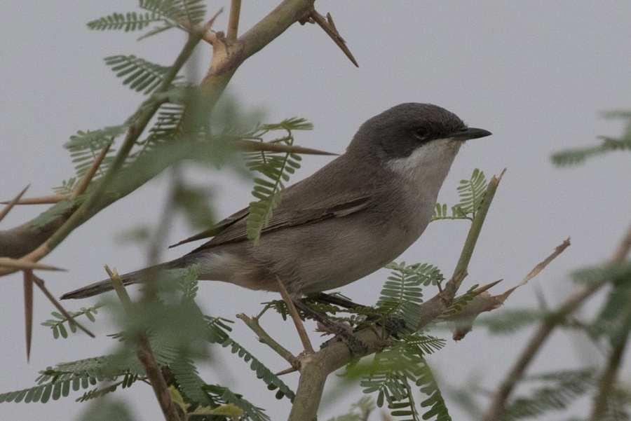 07 humes whitethroat 1024x684