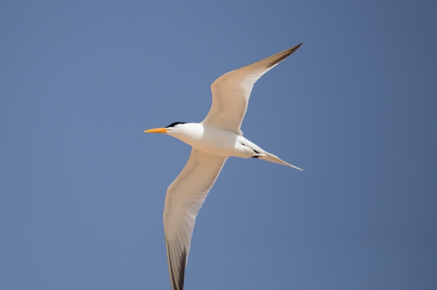 07 royal tern 1024x680
