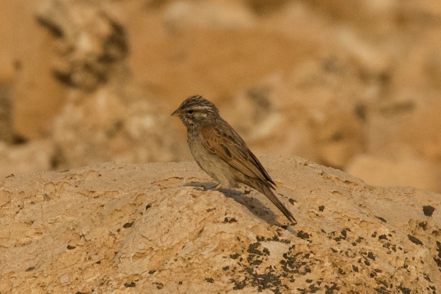 08striolated bunting 1024x683