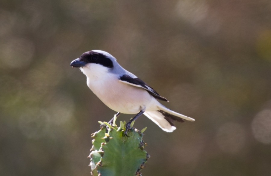 09 lesser grey shrike 1024x664