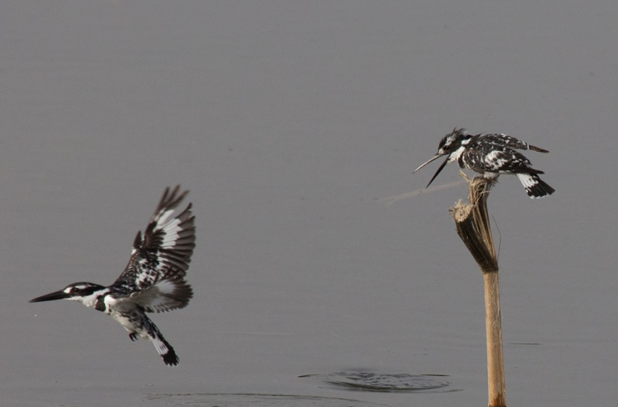 09 pied kingfisher luxor 1024x673