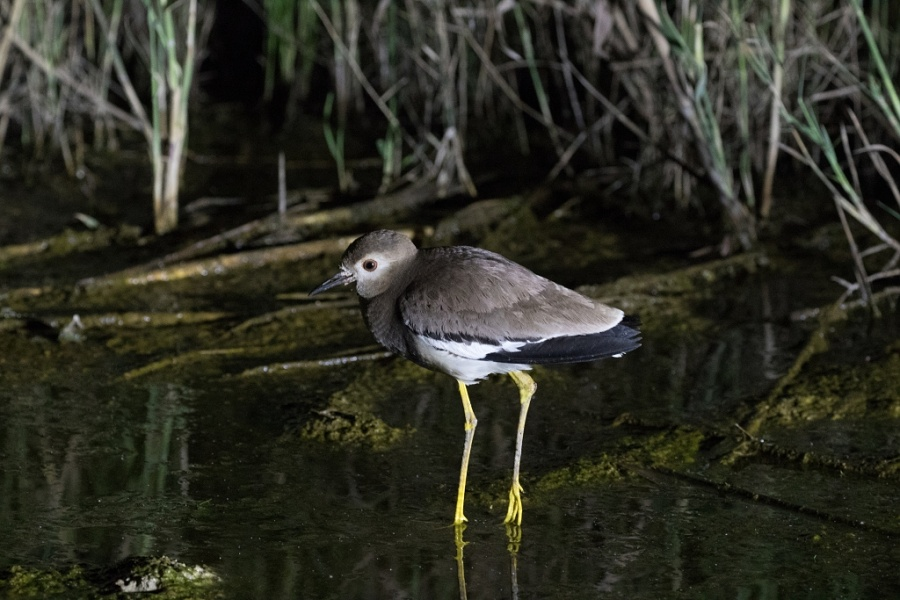 09 white tailed lapwing dark 1024x683