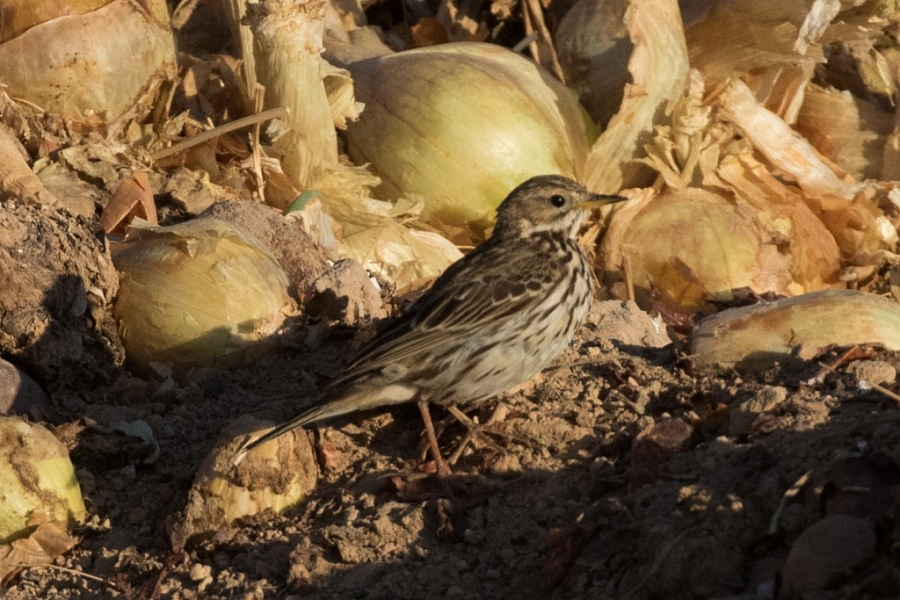 09red throated pipit 1w 1024x683