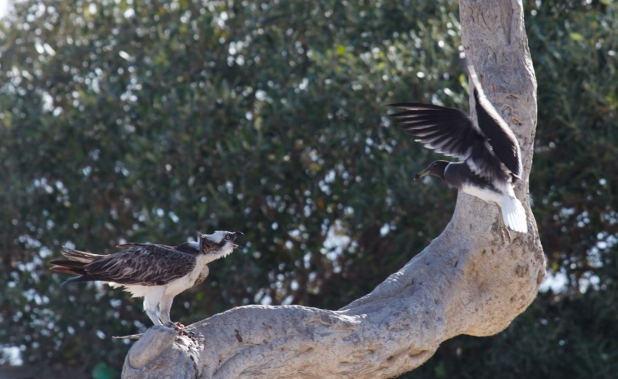 10 osprey vs sooty gull 1024x628