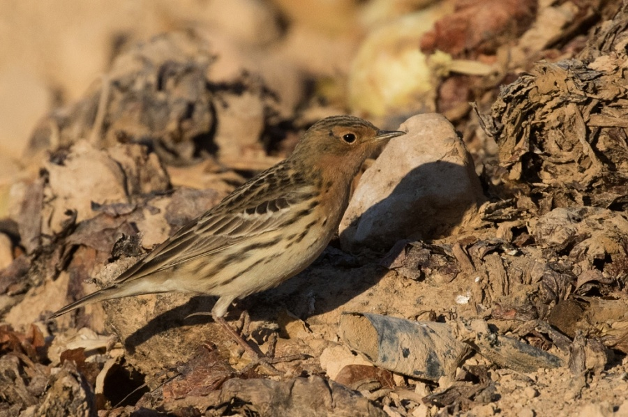 10red throated pipit 1024x680