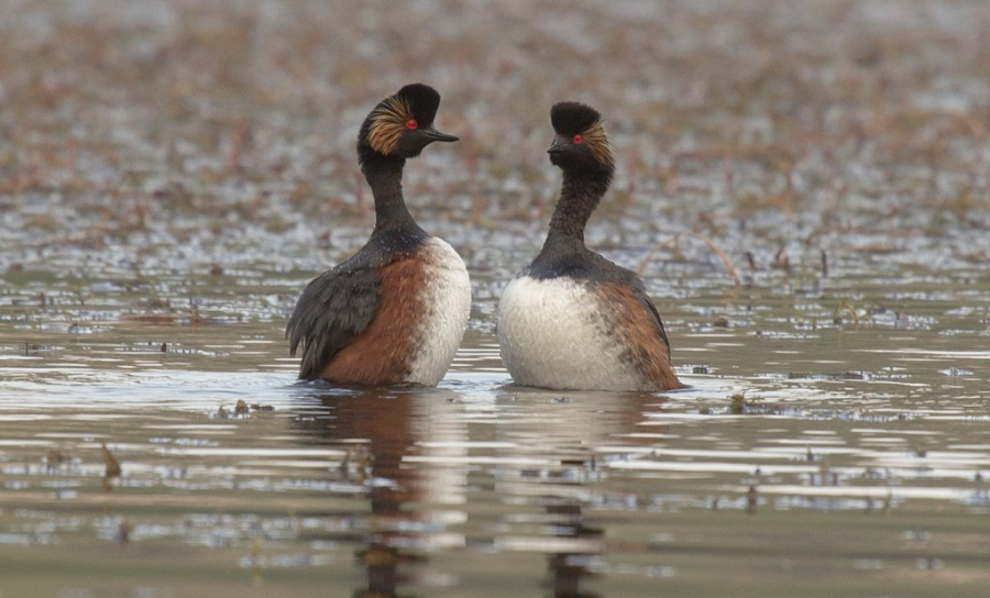 11 black necked grebe 1024x619