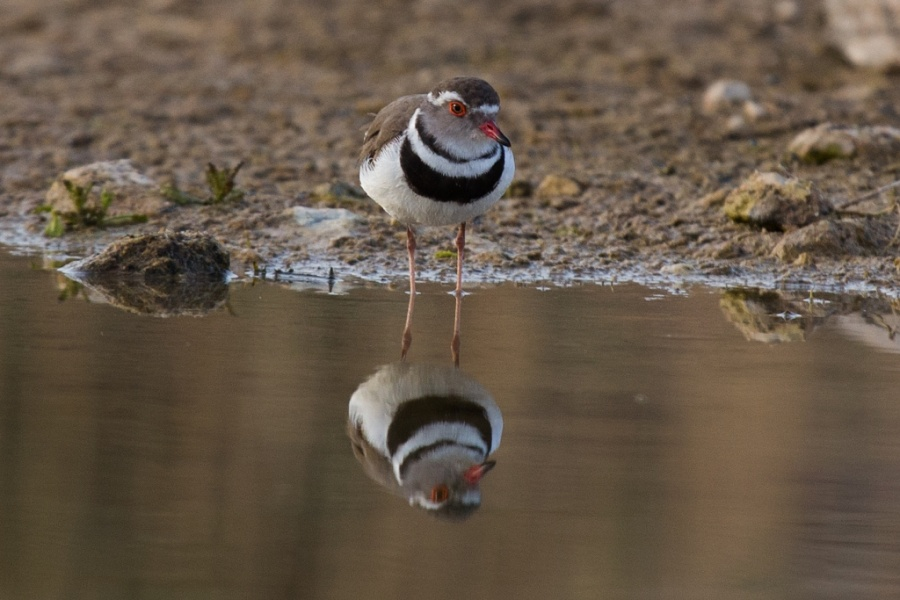 11 three banded plover 1024x683