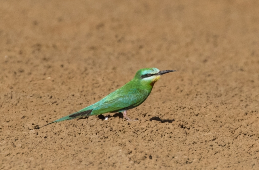 12 blue cheeked bee eater 1024x674