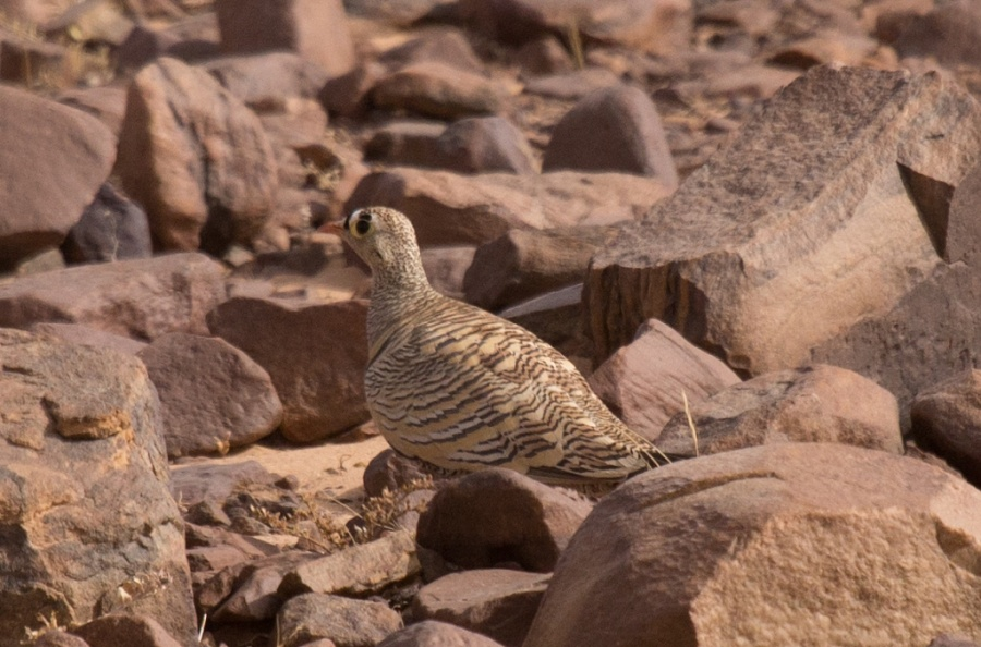12 lichtenstein sandgrouse2 1024x676