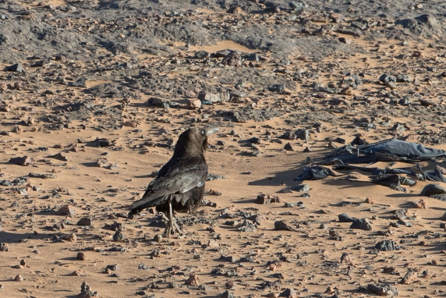 16 Brown necked Raven