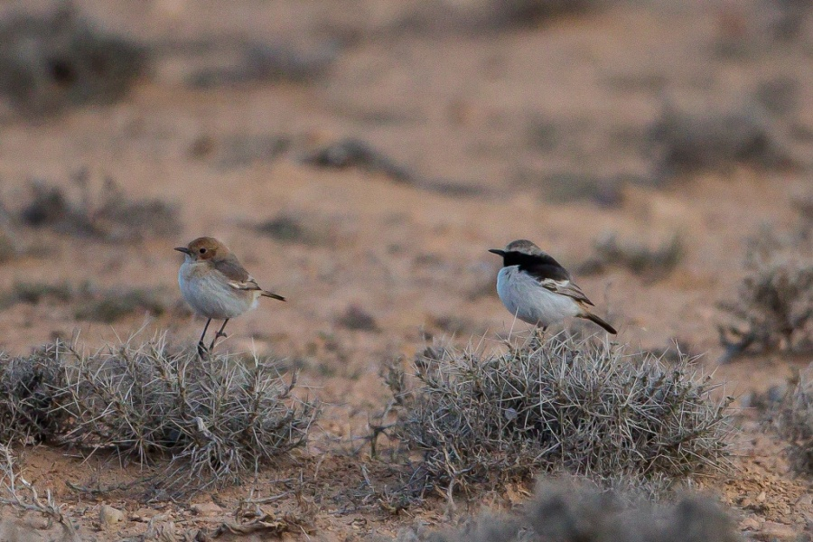1 Red rumped Wheatear