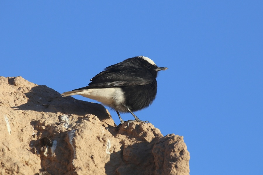 8 White crowned Wheatear