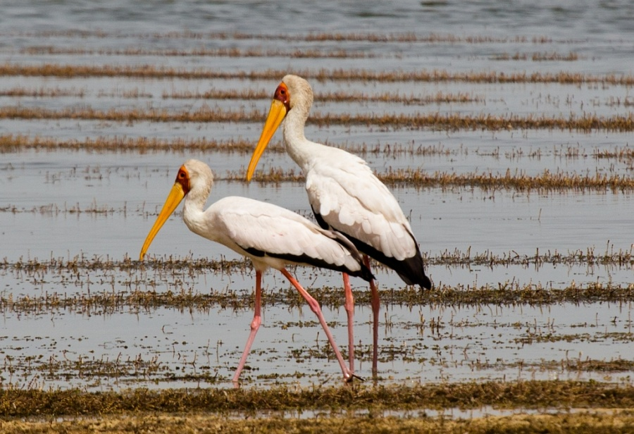 15 yellow billed stork 1024x701