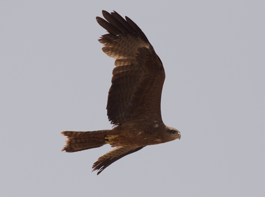 16 yellow billed kite 1024x762