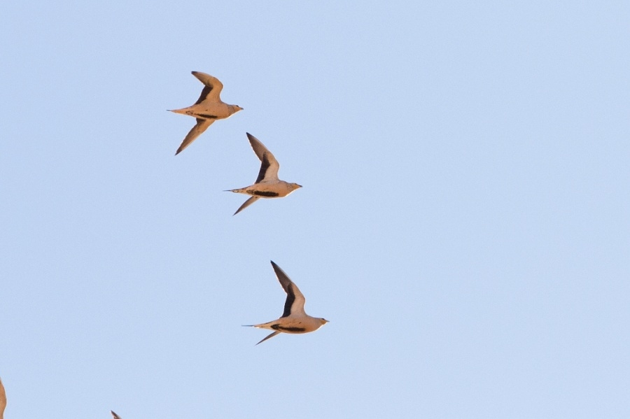 3 Spotted Sandgrouse