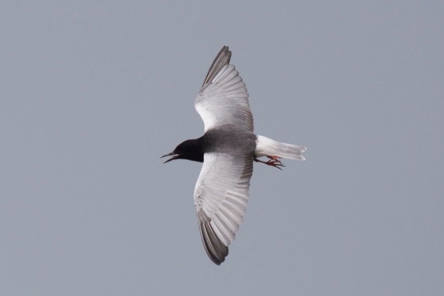 17 white winged tern 1024x683