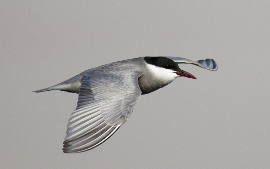 18 whiskered tern egypt 1024x641