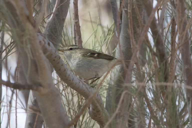 1 Humes Warbler