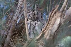 1 Pallid Scops Owl Dream species