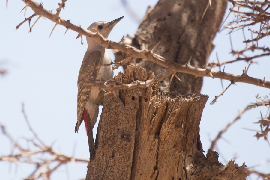 20 african grey woodpecker 1024x684