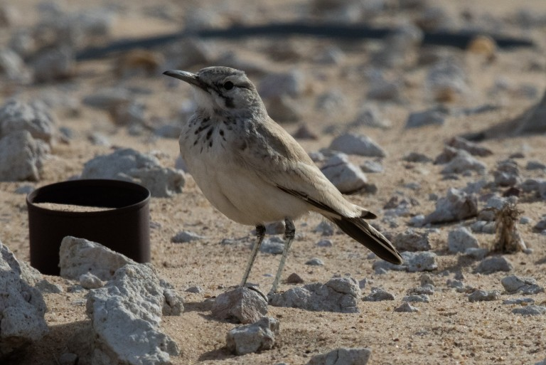2 Greater Hoopoe Lark