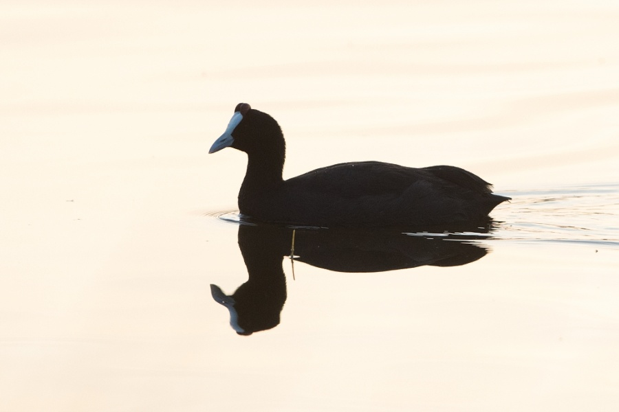 7 Red knobbed Coot