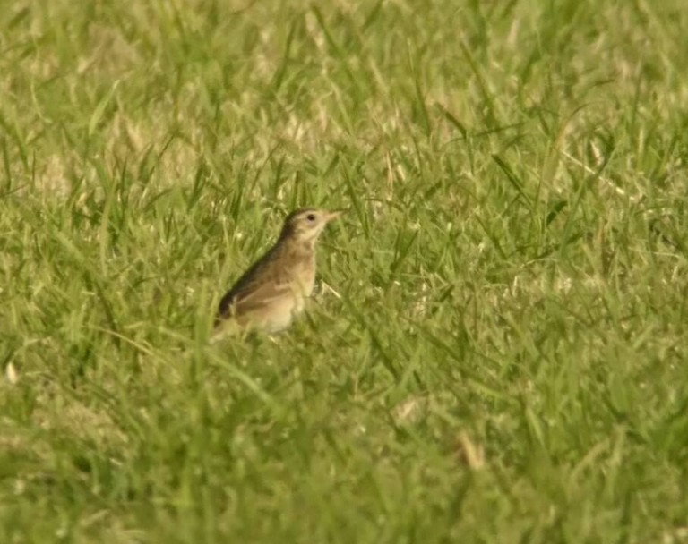 4 Richards Pipit